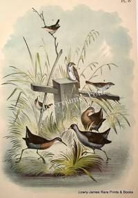 Plate IV The Rail (Crex carolinus); The Virginia Rail (Rallus virginianus); The Song Sparrow (Melospiza melodia); The Marsh Wren (Cistothorus palustris)