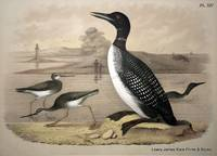 Plate XIV The Great Northern Diver Loon, The Tell-tale, Tattler, or Godwit