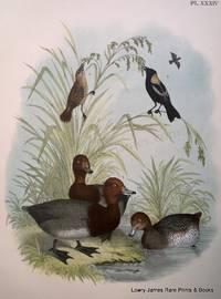Plate XXXIV The Red-headed Duck (Aythya americana); The Bobolink or Rice-bird (Dolichonyx orizyvorus)