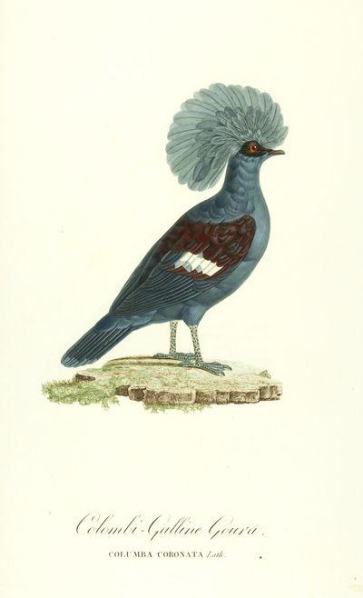 Les Pigeons, par Madame Knip, née...