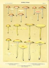 Edible Fungi.  Hygrophorus Larinus Pk. Larch Hygrophorus.  Hygrophorus Chlorophanus Fr. Sulfury Hygrophorus.  Hygrophorus Speciosus Pk. Showy Hygrophorus