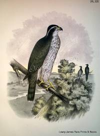 Plate XX The Ash-colored or Black-cap Hawk (Astur atricapillus)
