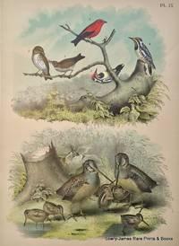 Plate IX The Woodcock (Philohela minor); The Wood Thrush (Turdus mustelinus); The Yellow-bellied Woodpecker (Sphyrapicus varins); The Scarlet Tananger (Pyranga rubra).