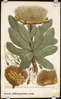 Scolymoce - phalus foliis oblogis, seu Lepidocarpodendron primum. B