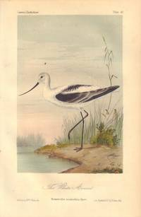 image of The White Avocet: Recurvirostra occiidentalis