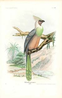 Bird print - Schizorhis personata (Plate XXX ONLY) from Ornithologie Nordost-Afrika's