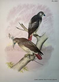Plate XXX Red-tailed Hawk (Buteo Borealis)