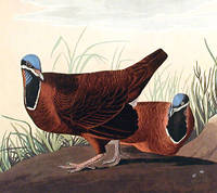 Blue-headed Pigeon. From The Birds of America (Amsterdam Edition)