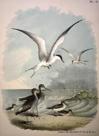 Plate XI  The Yellow-shanked Snipe (Gambetta-Scolopax-flavipes);  The Semi-palmated Sandpipers (Tringa-Actitus Semi-palmata); The Great Tern, or Sea Swallow (Sterna hirundo)