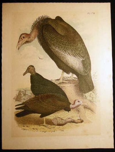 No Place Listed: No Publisher Noted, 1880. A single original colored plate of vultures in their habi...