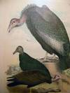 View Image 2 of 3 for Large Hand Colored Plate Vultures Ornithology Number CXI Inventory #24899