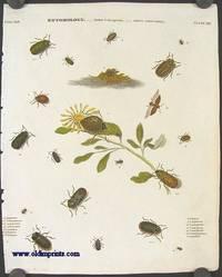 Entomology.  Order Coleoptera.  Genus Chrysomela