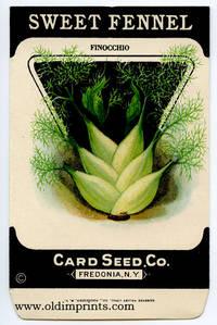 Sweet fennel. (Finocchio).