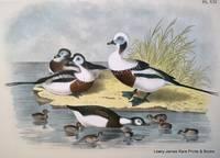 Plate XXI The Long-tailed Duck (Heralda glacialis)