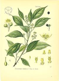 Cinnamomum Camphora F. Nees et Eberm