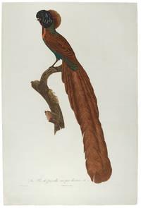[Bird of Paradise] La Pie de paradis, vue par derriere, No. 21. [Arfak Astrapia]
