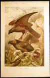 View Image 1 of 2 for 1890 Color Chromolithograph New Zealand Kaka Parrots Inventory #24892