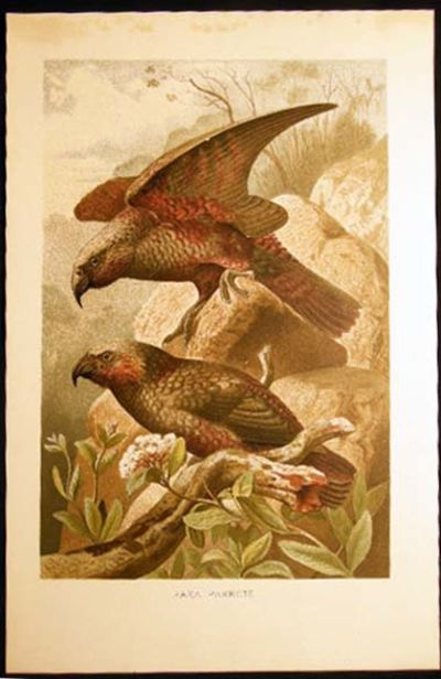 Leipzig Germany: Bibliographisches Intitut, 1890. A single original colored plate of these parrots; ...