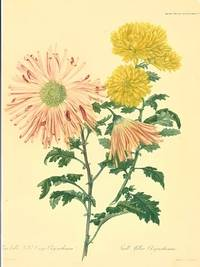 Semi-double Quilled Orange Chrysanthemum.  Small Yellow Chrysanthemum