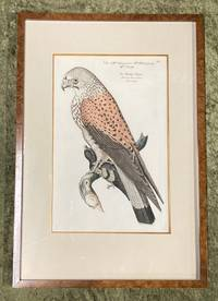 Bird Engraving. Hand-colored Kestrel. Plate 84. Rothel Geyer. Tinunculus verus